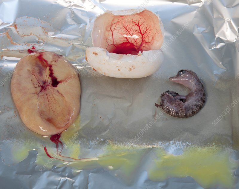 Crocodile embryo research