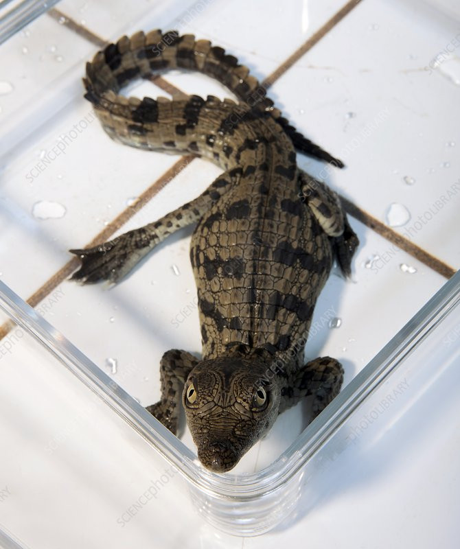 Nile crocodile hatchling