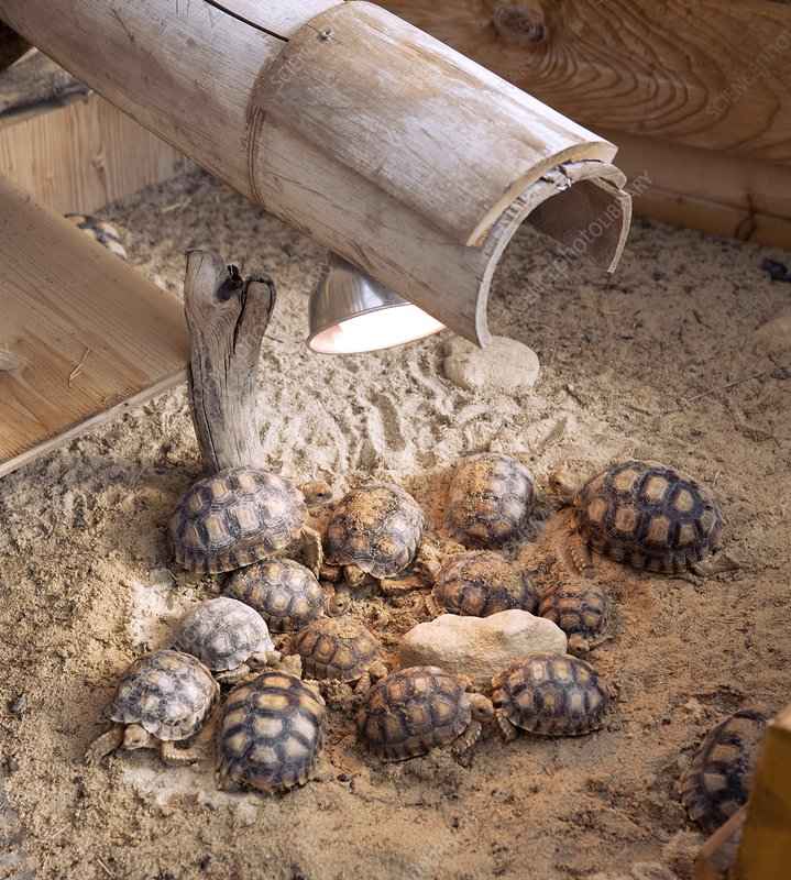 African spurred tortoises