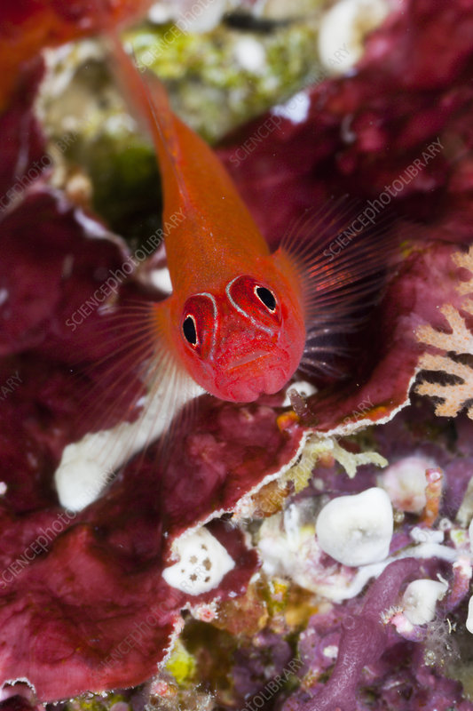 Striped Triplefin