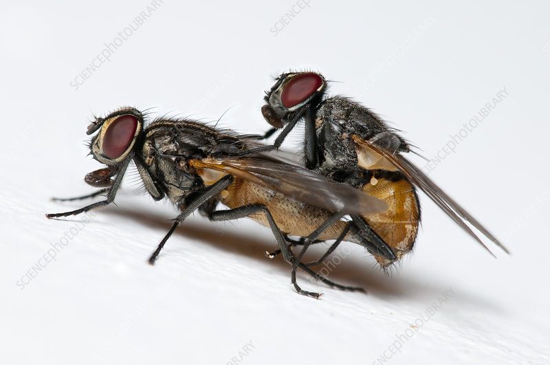 Mating Face Flies