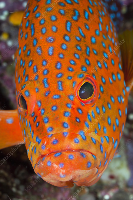 Coral Grouper head
