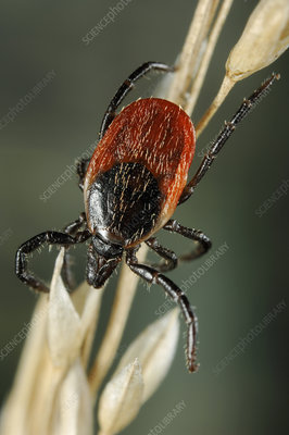 Sheep Tick (Ixodes ricinus)