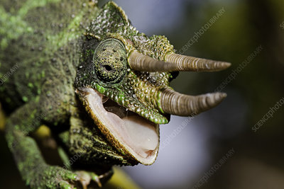 Head of a male Jackson's Chameleon
