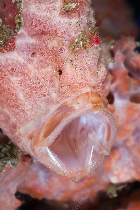 Threatening behavior of Painted Frogfish