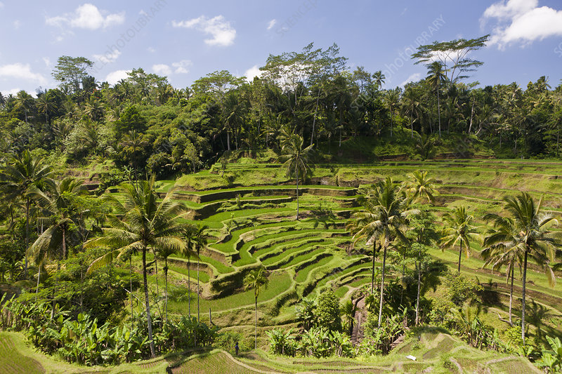 Ricefields of Tegalalang, Bali, Indonesia