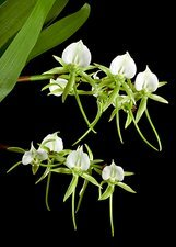 Darwin's orchid (Angraecum sesquipedale)