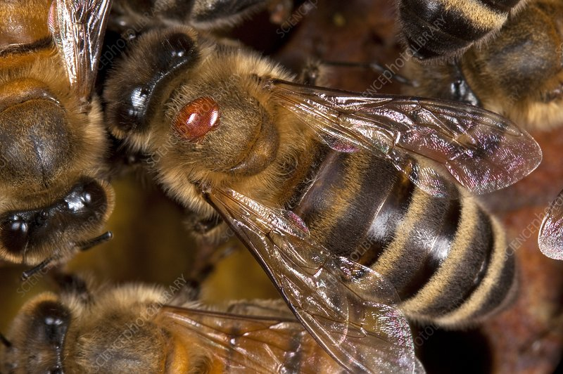 honey bee with varroa mite  8431