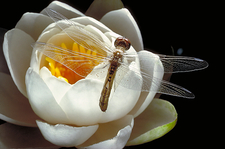 Dragonfly & Water Lily