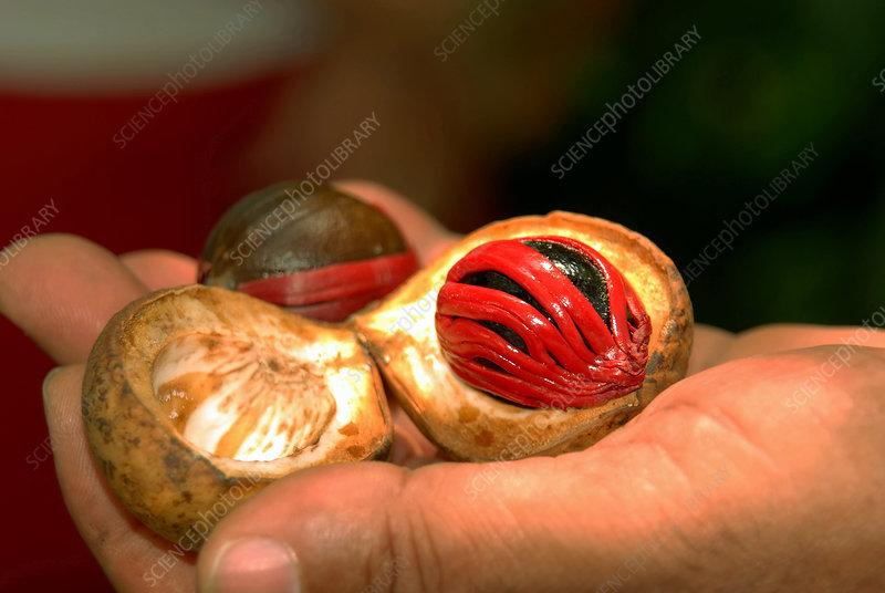 Nutmeg and Mace - Stock Image - C012/8846 - Science Photo