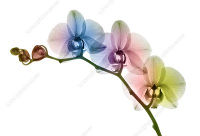 Orchid flowers, X-ray