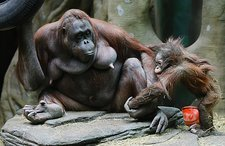 Orangutan mother with newborn in zoo
