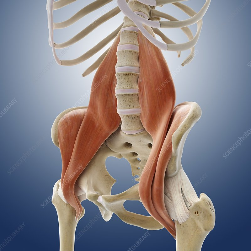 Iliopsoas Muscles  Artwork - Stock Image C013  0800