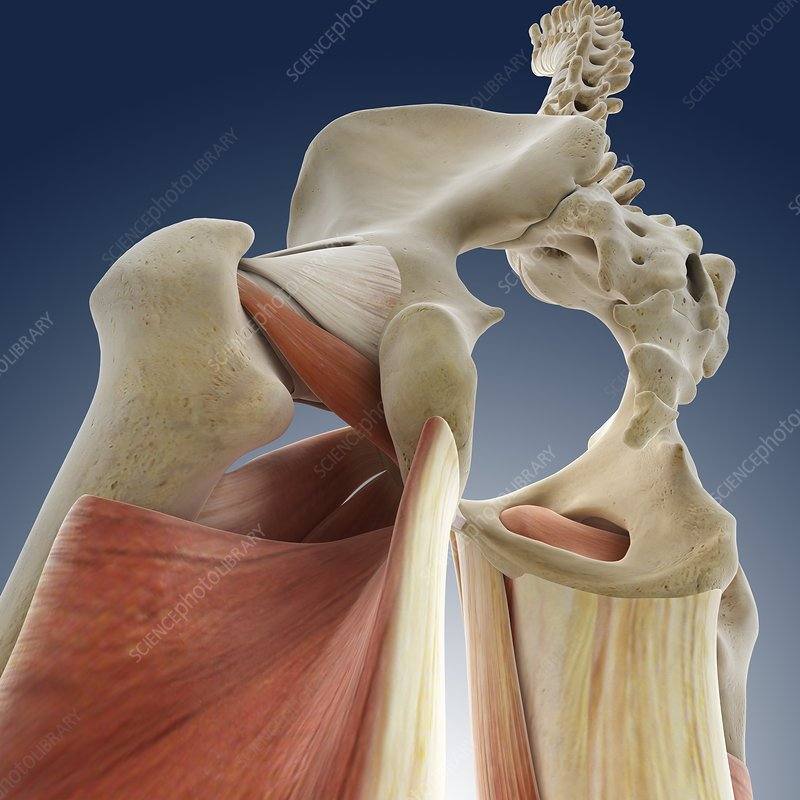 Hip anatomy, artwork