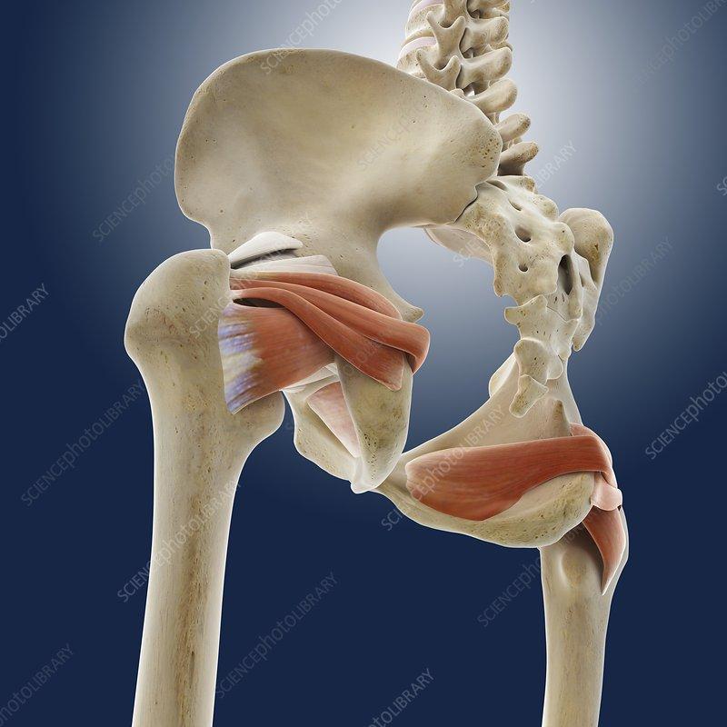 Buttock muscles, artwork