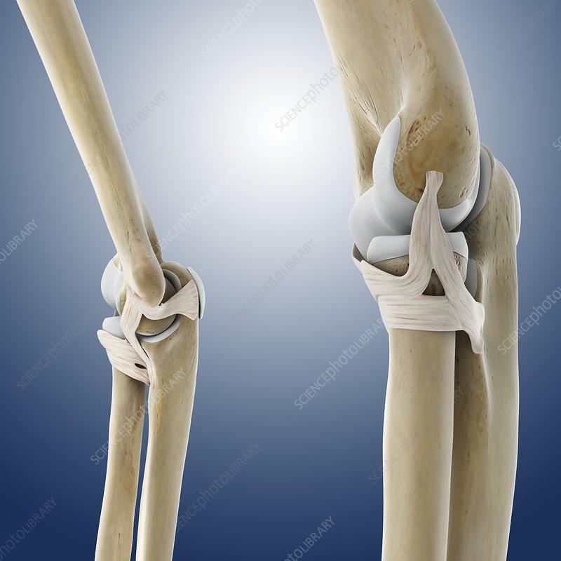 Elbow ligaments, artwork