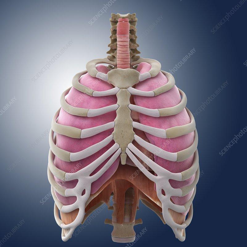 Chest anatomy, artwork