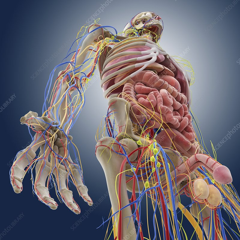 Human anatomy, artwork