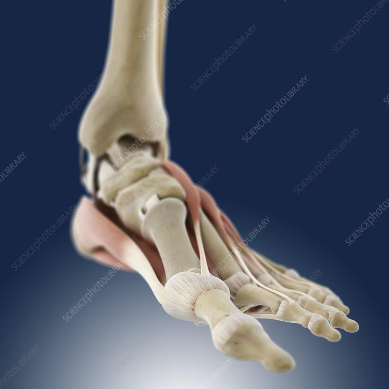 Foot anatomy, artwork