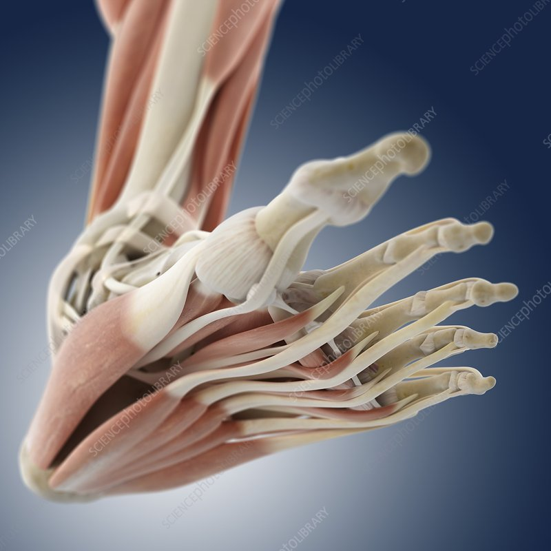 Foot anatomy, artwork