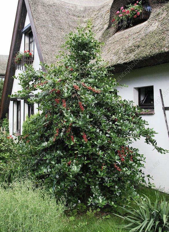Holly (Ilex aquifolium 'J.C. van Tol')