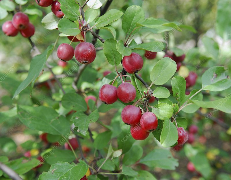 Crab Apple (Malus 'Gorgeous')