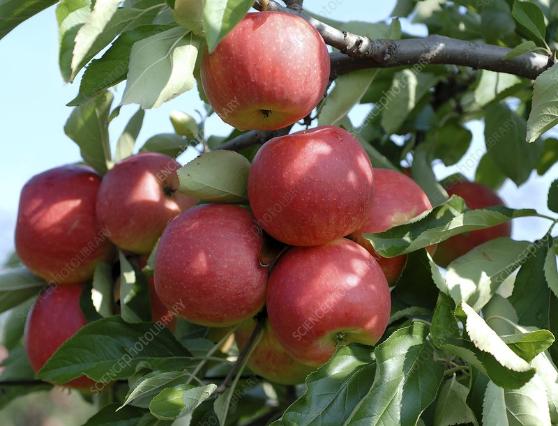 Apple (Malus domestica 'Elan')