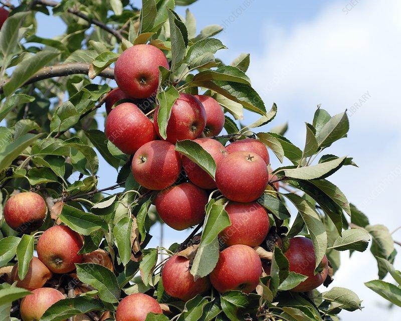 Apple (Malus domestica 'Elstar')