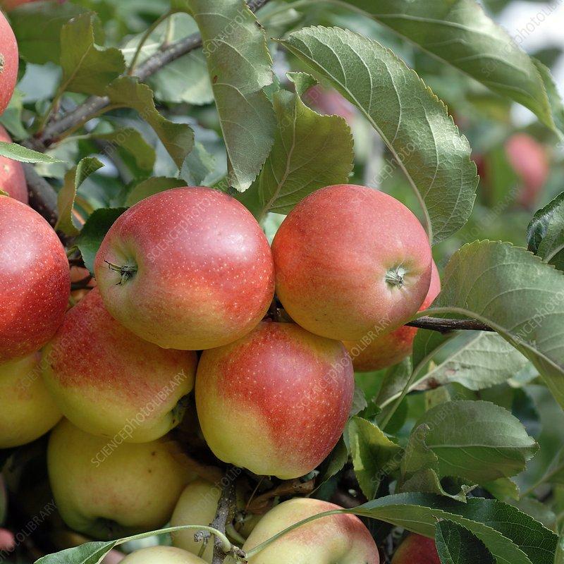 Apple (Malus domestica 'Gala')
