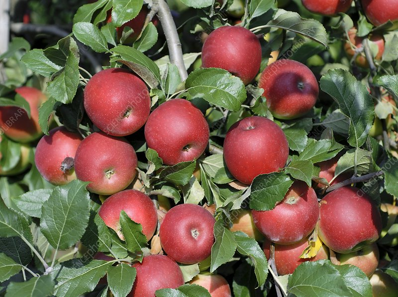 Apple (Malus domestica 'Jonafree')