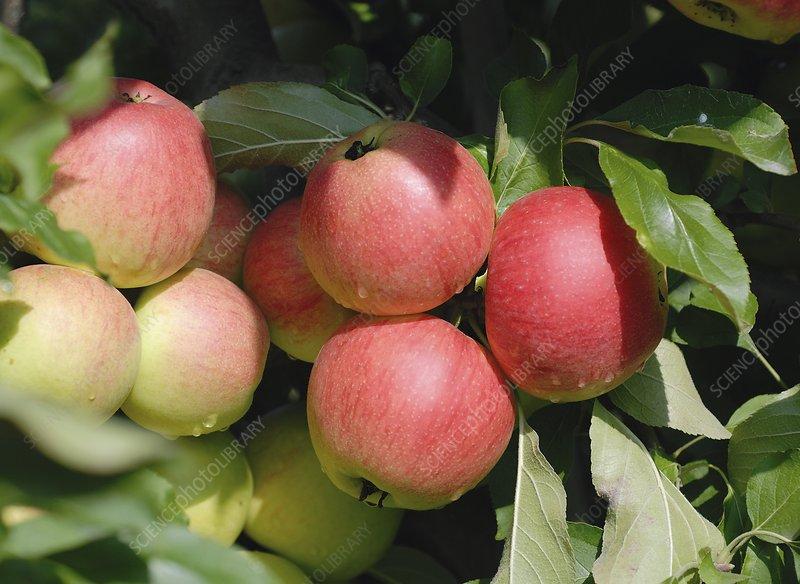 Apple (Malus domestica 'Piflora')