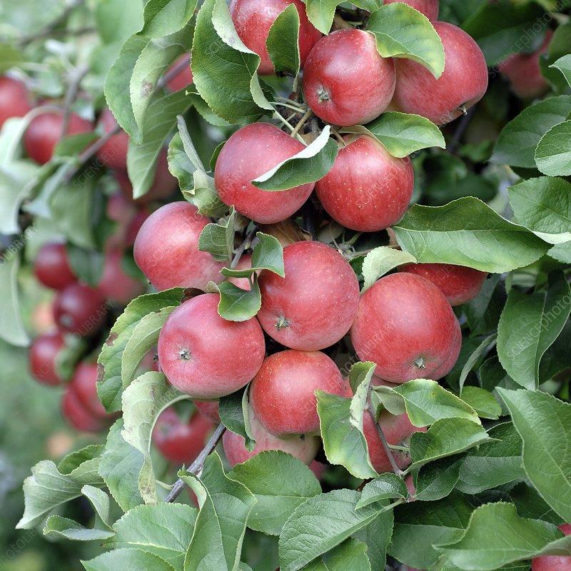 Apple (Malus domestica 'Releika')
