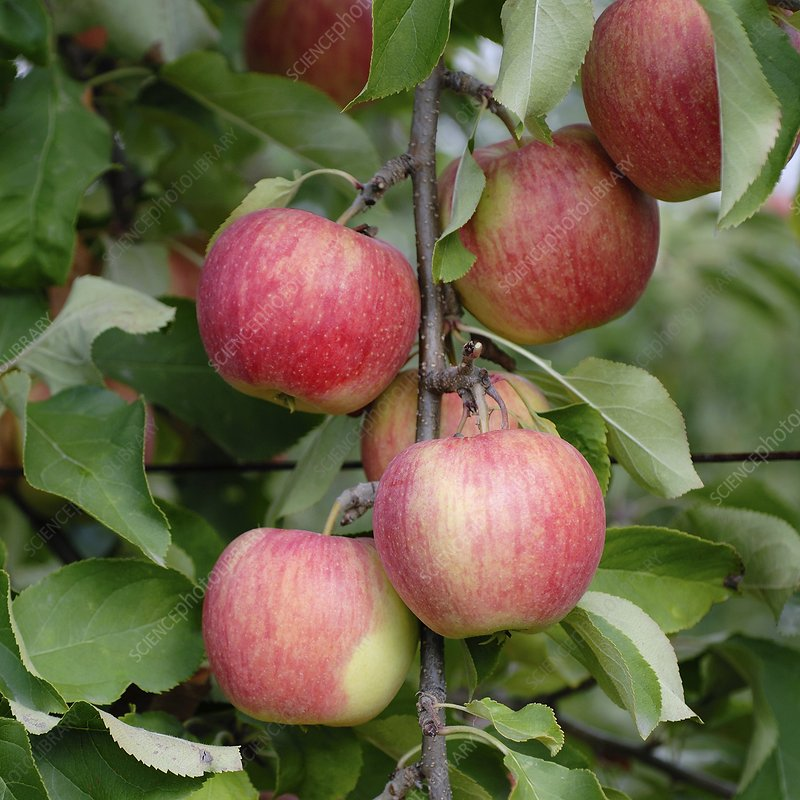 Apple (Malus domestica 'Shampion')
