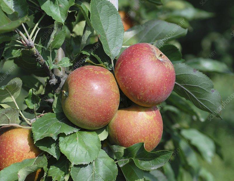 Apple (Malus domestica 'Spurkoop')