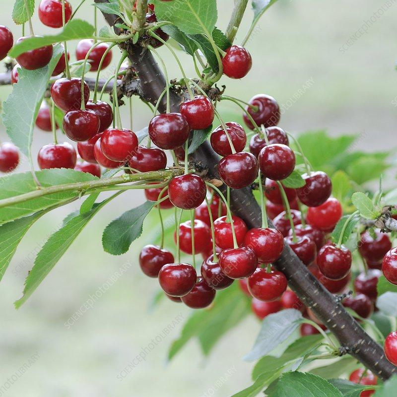 Sour Cherry (Prunus cerasus 'Gerema')