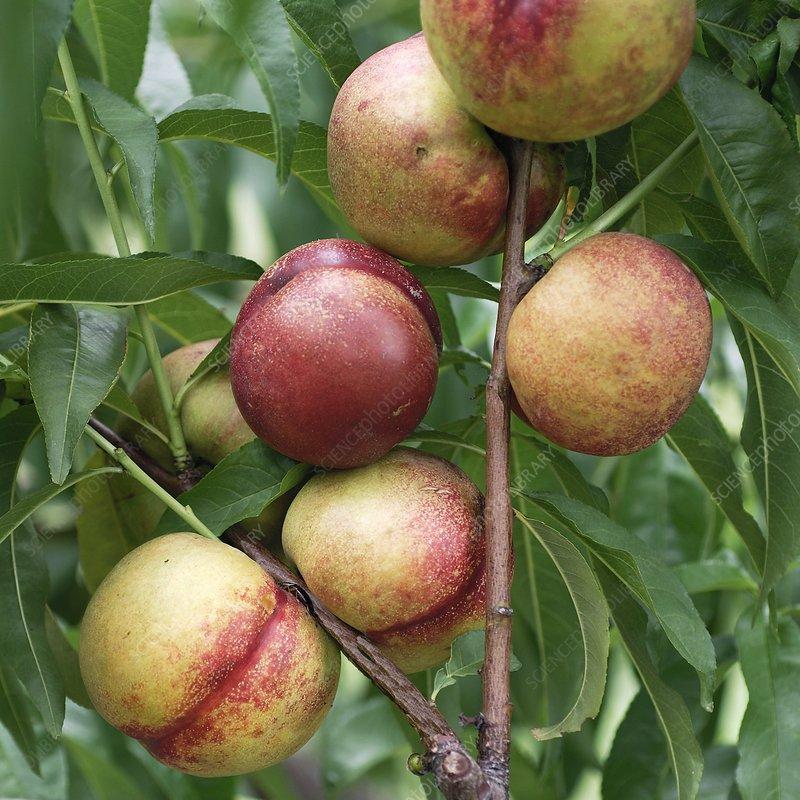 Nectarine (Prunus persica nucipersica)