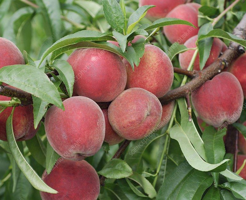 Peach (Prunus persica 'Elma')