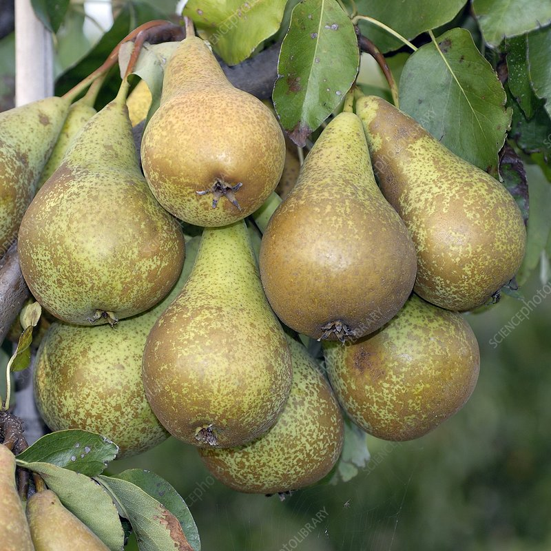 Pear (Pyrus communis 'Conference')