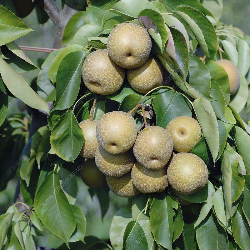 Pear (Pyrus pyrifolia 'He Tu Pear')