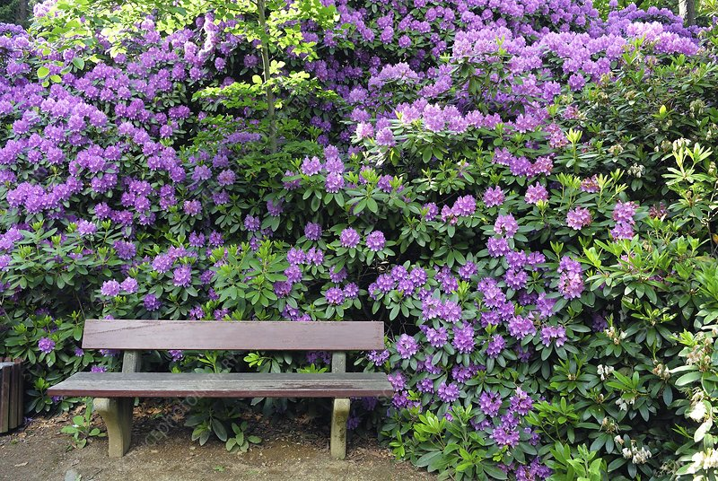 Rhododendron and bench