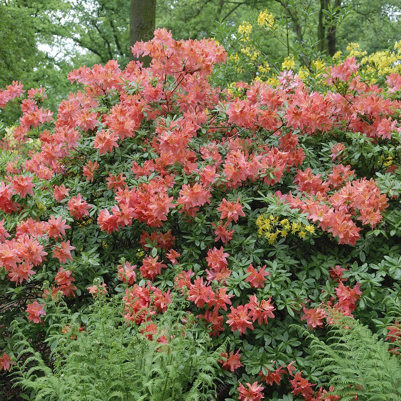 Rhododendron luteum and ferns