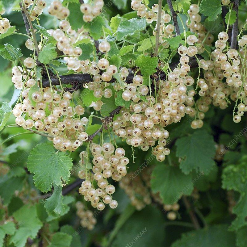Ribes rubrum 'White Versailles'