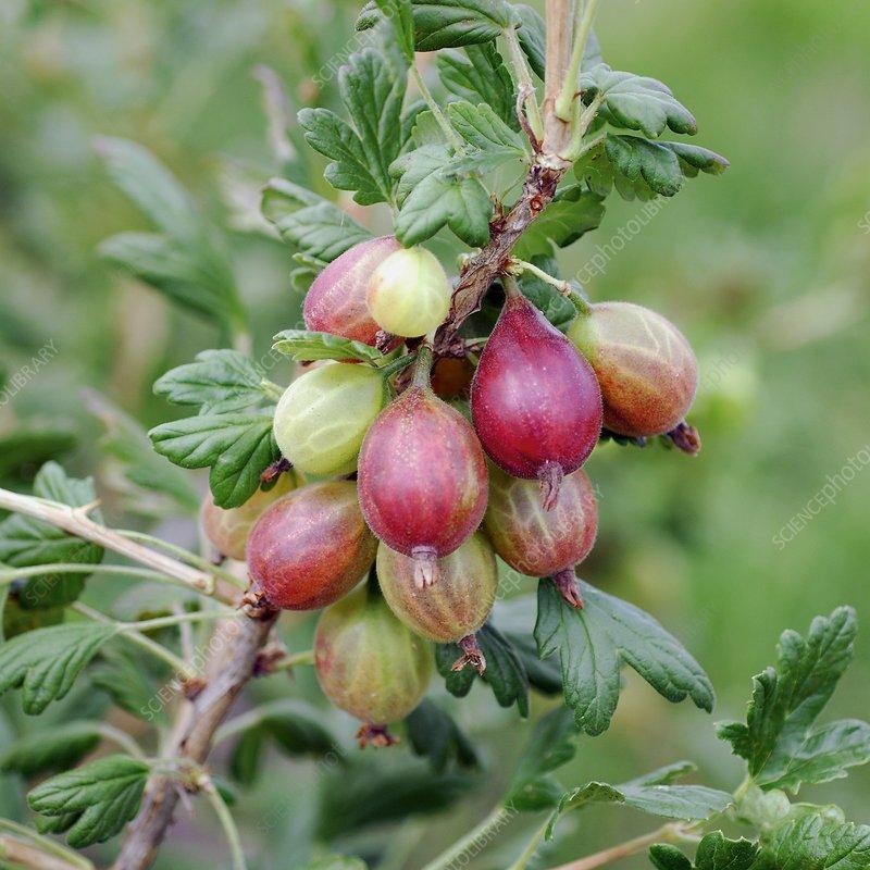 Gooseberry (Ribes uva-crispa 'Rolonda')