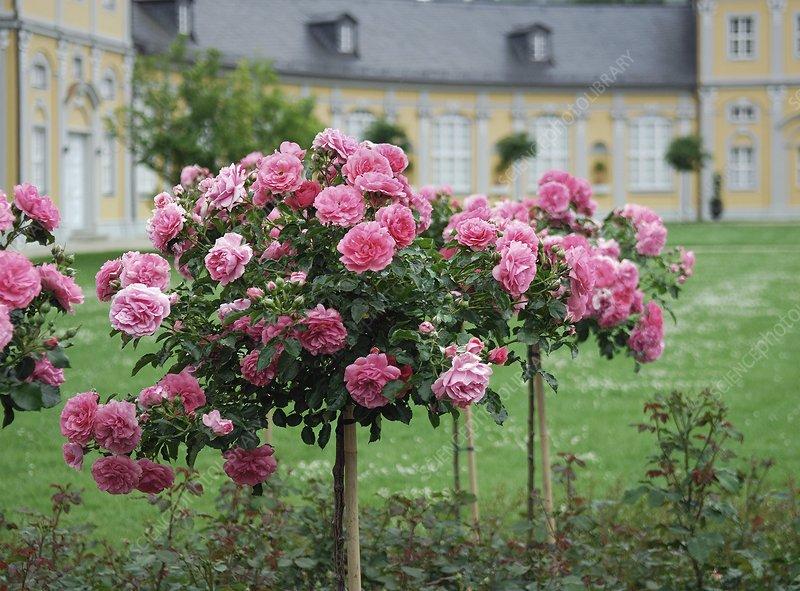 Rose (Rosa 'Rosarium Uetersen')
