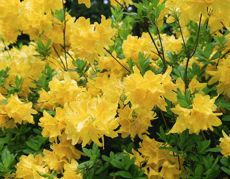 Rhododendron luteum 'Anna'