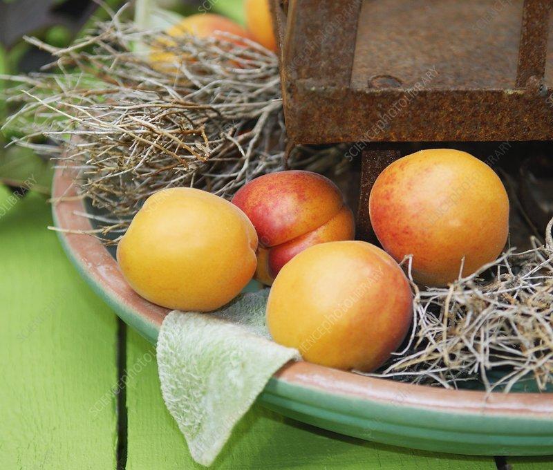 Apricots (Prunus armeniaca 'Bergeron')
