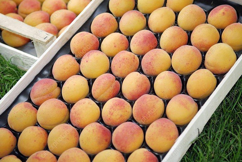 Apricots (Prunus armeniaca 'Hargrand')