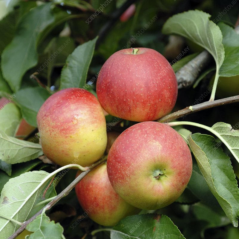 Apple (Malus domestica 'Elstar')