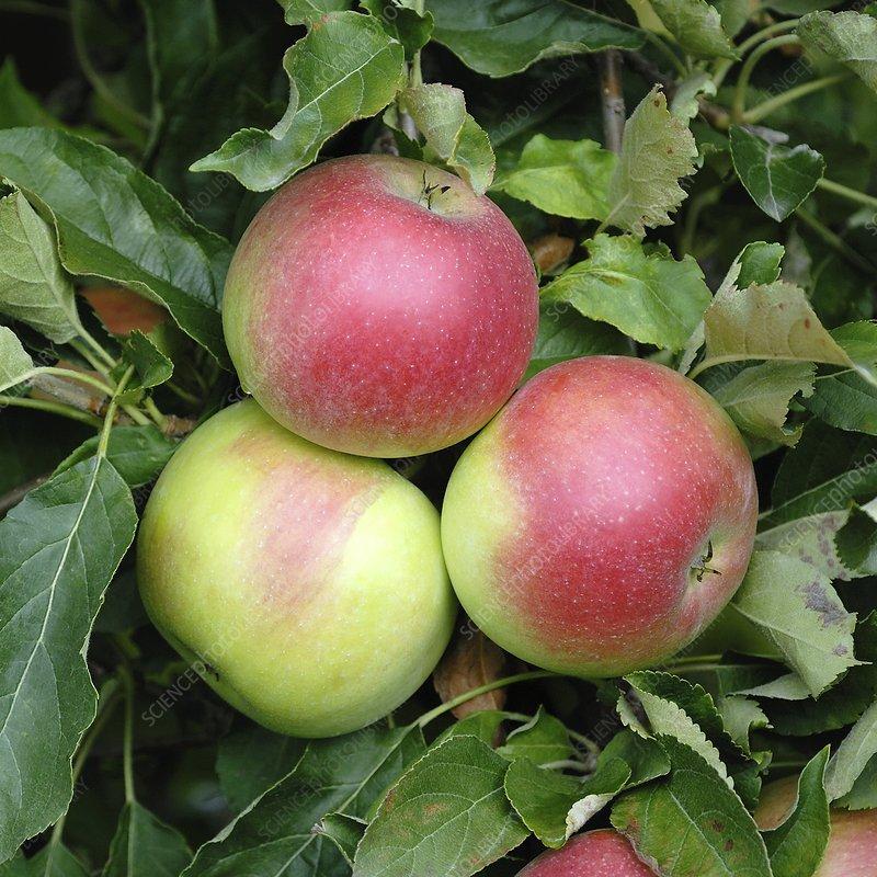Apple (Malus domestica 'Idared')