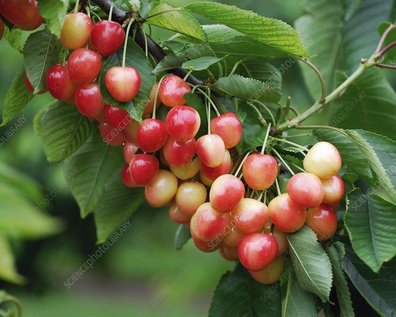 Cherry (Prunus avium 'Sue')